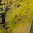 秋・銀杏並木