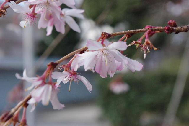 春・平野神社