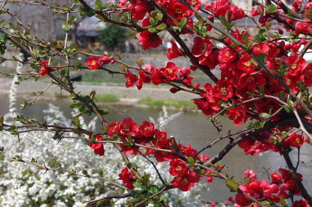 春・五条川端