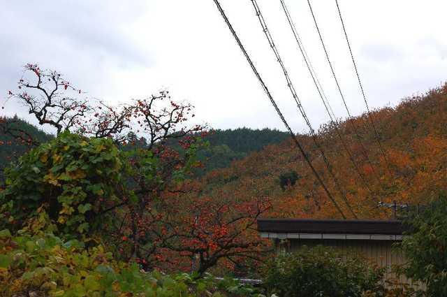 柿の木・紅葉